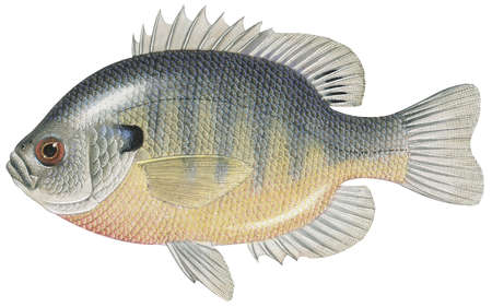 Bluegill (Lepomis macrochirus)