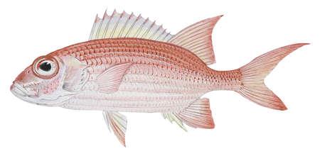 Longspine squirrelfish (Holocentrus rufus)