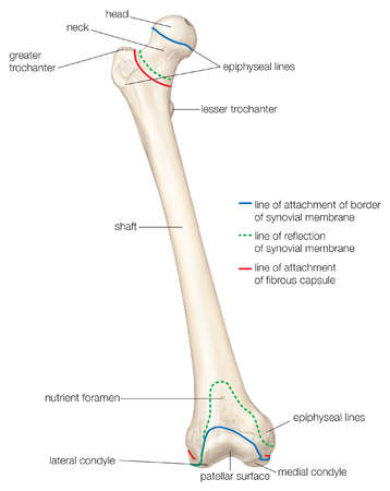 Anterior view of the human right femur (thighbone)