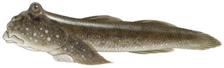 Mudskipper (Periophthalmus)