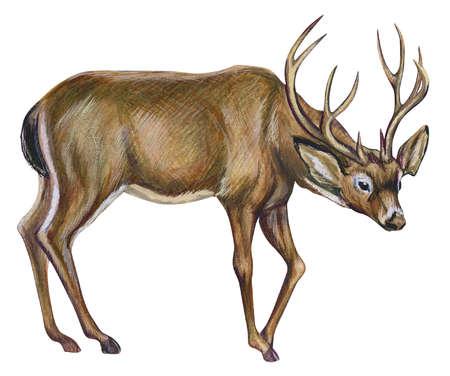 Black-tailed deer, or Rocky Mountain mule deer (Odocoileus hemionus hemionus)