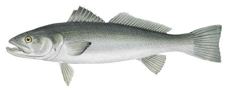 Dolphinfish (Coryphaena hippurus)