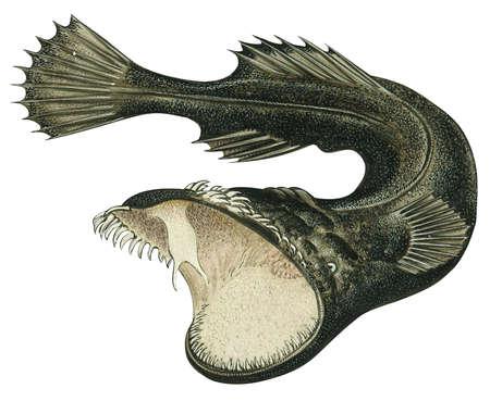 Thaumatichthys axeli