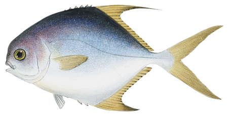 Permit (Trachinotus falcatus)