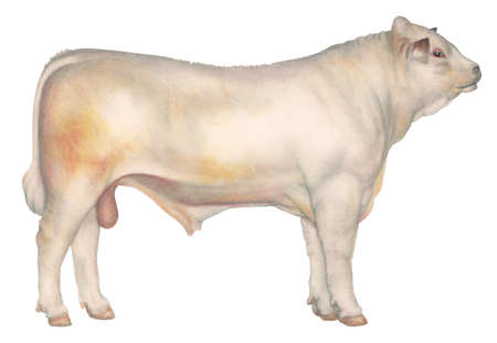 Charolais bull, a breed of cattle developed in France for draft purposes but now kept for beef production and crossbreeding