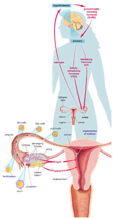 The major structures and hormones involved in initiating pregnancy, as well as the development of an egg cell (ovum)