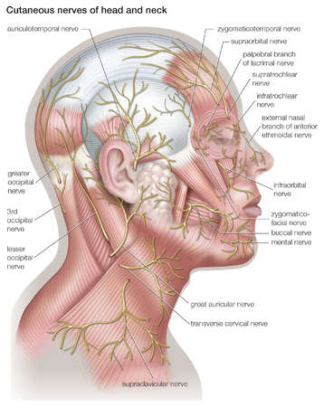 Diagram of the cutaneous nerves of the head and neck