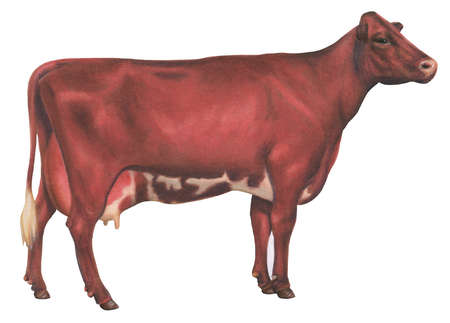 Milking Shorthorn cow, a special strain developed from the Shorthorn cow, raised for both milk and beef production