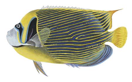 Emperor angelfish (Pomacanthus imperator),