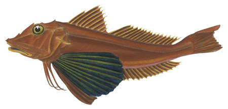 Tub gurnard (Trigla lucerna)