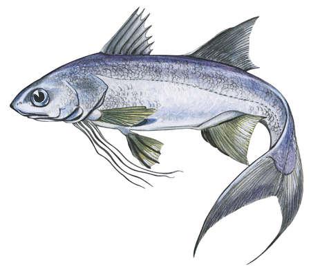 Threadfin (Polynemus quadrifilis)