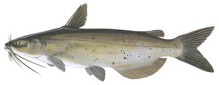 Channel catfish (Ictalurus punctatus)