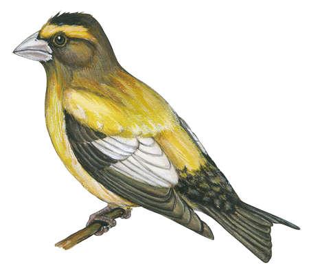 Evening grosbeak (Coccothraustes vespertinus)
