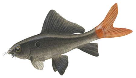"Red-tailed black ""shark"" (Epalzeorhynchos bicolor)"