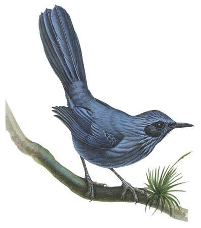 Blue mockingbird (Melanotis caerulescens)