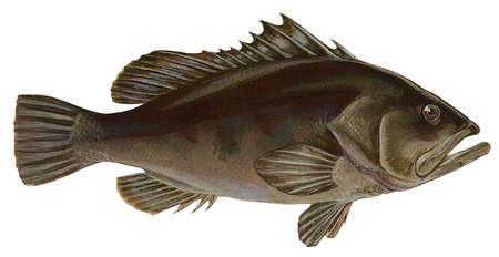 Warsaw grouper (Epinephelus nigritus)