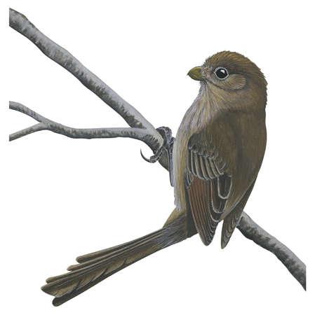 Vinous-throated parrotbill (Paradoxornis webbianus)