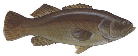 Giant sea bass (Stereolepis gigas)