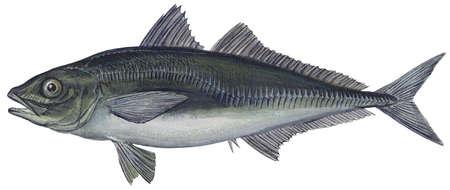 Jack mackerel (Trachurus symmetricus)