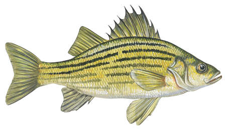 Yellow bass (Roccus mississippiensis)