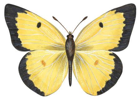 Common sulphur butterfly