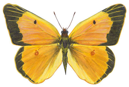 Clouded sulfur butterfly (Colias philodice)