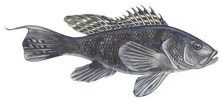 Black sea bass (Centropristes striatus)