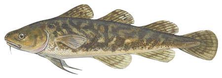 Atlantic tomcod (Microgadus tomcod)