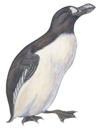 Great auk (Pinguinnus impennis)