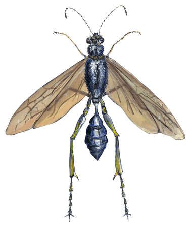 Blue mud dauber (Sphecini)
