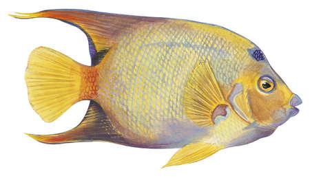 Angelfish (Holacanthus ciliaris)