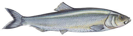 Atlantic herring (Clupea harengus)