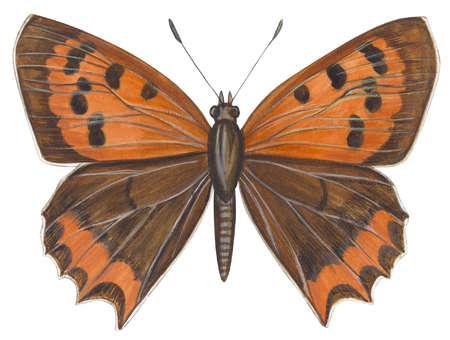 American copper butterfly (Lycaena hypophlaea)
