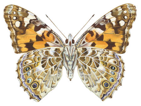 Painted lady butterfly (Vanessa virginiensis)