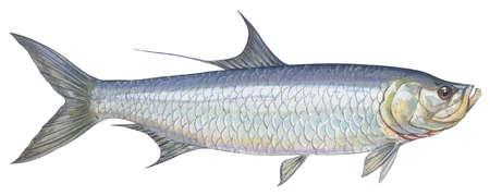 Atlantic tarpon (Megalops atlantica)