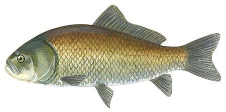 Buffalo fish (Ictiobus cyprinellus)