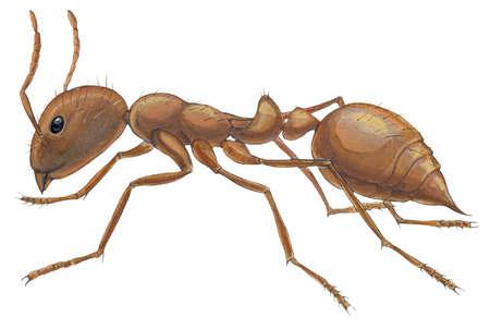 Fire ant (Solenopsis geminata)