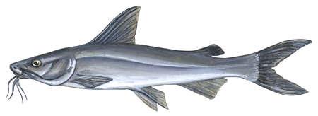Sea catfish (Ariopsis felis)