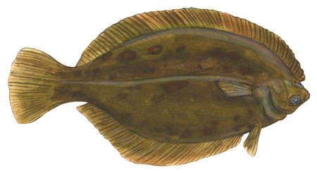 Flounder (Pseudopleuronectes americanus)