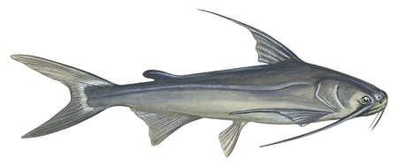 Gafftopsail catfish (Bagre marinus)