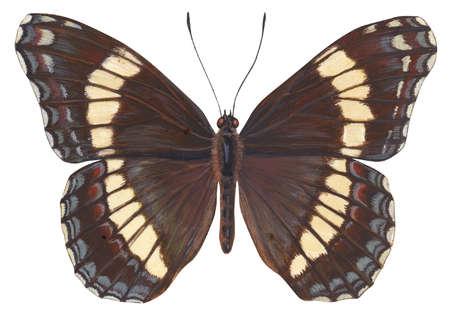 White admiral butterfly (Limenitis arthemis)