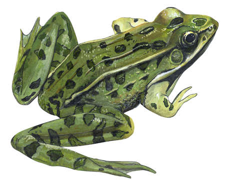 Southern Leopard Frog Drawing Frogs Leopard Rana Pipiens