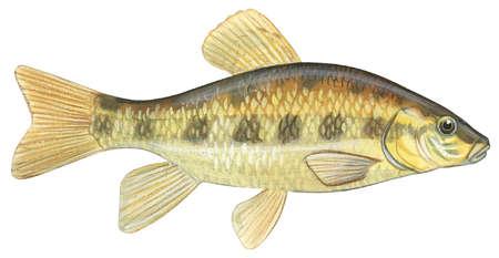 Lake chubsucker (Erimyzon sucetta)