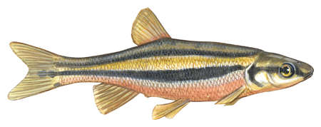 Southern redbelly dace (Phoxinus erythrogaster)