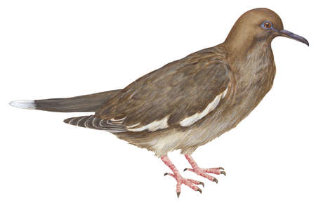 White-winged dove (Melopelia asiatica)