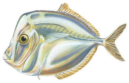 Moonfish (Vomer setapinnis)