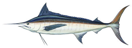 Blue marlin (Makaira nigricans)