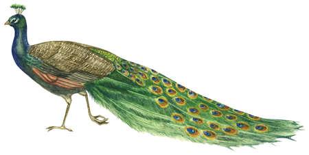Common peafowl (Pavo cristatus)