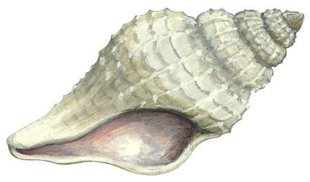 Atlantic oyster drill (Urosalpinx cinerea)