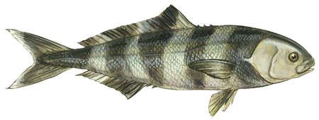 Pilotfish (Naucrates ductor)